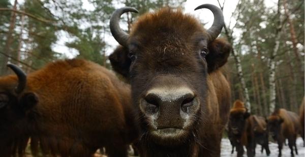 Le parc des bisons d'Europe en calèche