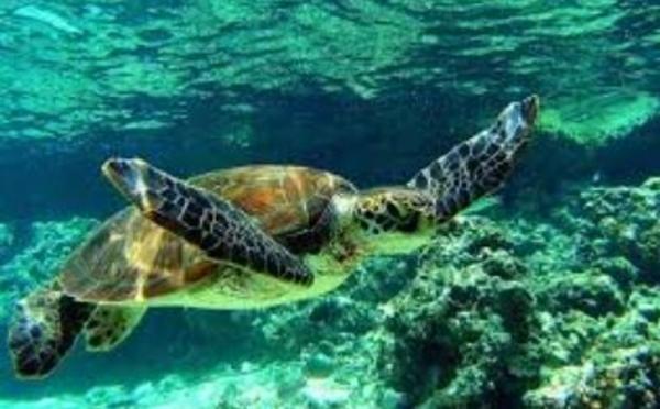 Dans le sillage des tortues marines
