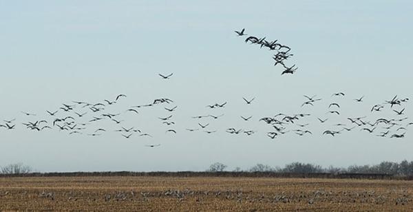 Oiseaux hivernants de la Réserve Naturelle Régionale Terres et étangs de Brenne Massé – Foucault