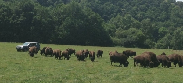 Elevage du Palais, Bisons d'Amérique et Chevaux