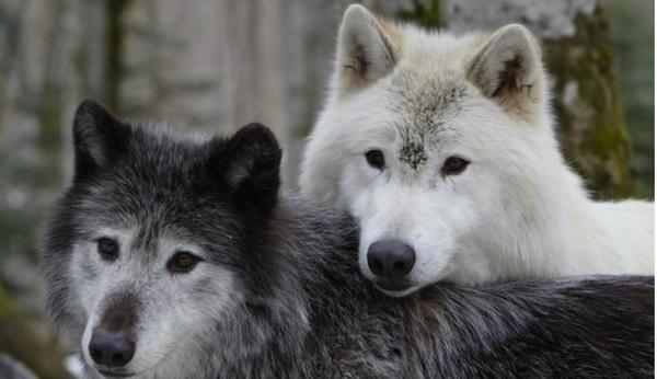 La maison des loups, le tunnel de vision