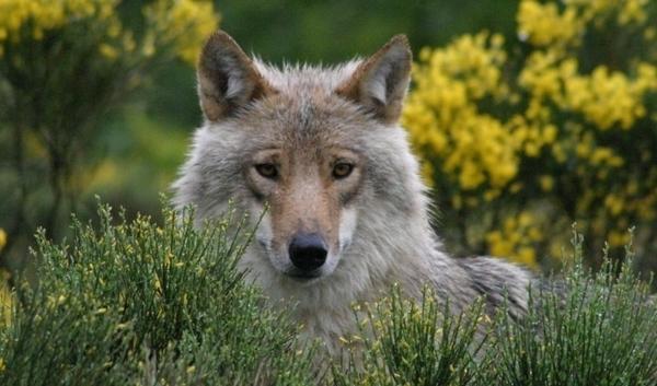 Les Loups du Gévaudan - visite classique