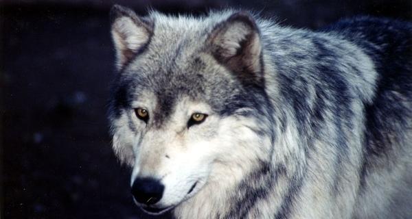 Les Loups du Gévaudan - visite nocturne